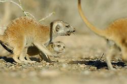 Die kleinen Erdmännchen (Suricata suricatta) sind mit zwei Monaten zwar schon außerhalb der Höhlen aktiv, können aber noch nicht selbständig Beute fangen. Sie sind auf sogenannte Helfer angewiesen, halbwüchsige oder erwachsene Tiere der Gruppe ohne eigenen Nachwuchs, die Insekten, Spinnen, Reptilien oder wie hier Skorpione für sie erbeuten. |  Suricate or Slender-tailed Meerkat (Suricata suricatta)