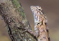 Female Oriental Garden Lizard (Calotes versicolor), Yala National Park, Sri Lanka