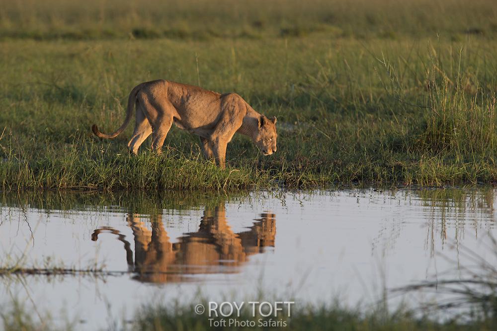 Reflection of African lion at water's edge, Duba Plains, Botswana