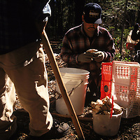 Matsutake pickers gather mushrooms in the Willamette National Forest of Oregon. They probe the forest floor with their handcrafted walking sticks to detect and unearth the valuable mushrooms. The most desirable matsutake are not yet fully open and retain the fragile membrane that protects the gills. Prices for these prized specimens fluctuate depending on the demand of the Japanese market. A good picker can easily average several hundred dollars per day.