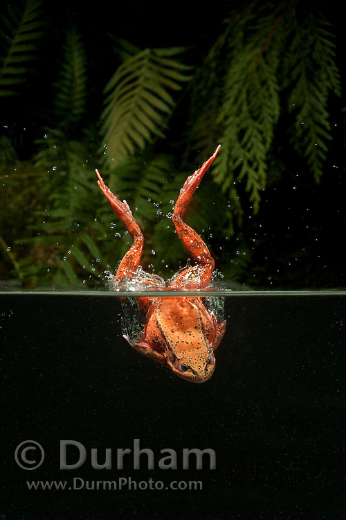 A northern red-legged frog (Rana aurora) dives into a water.