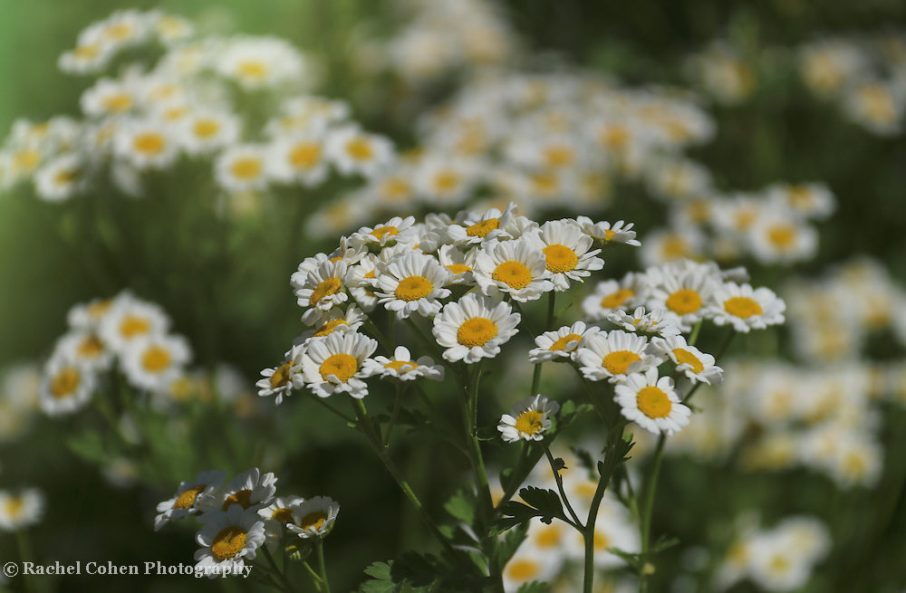 &quot;Feverfew Flowers&quot;<br />