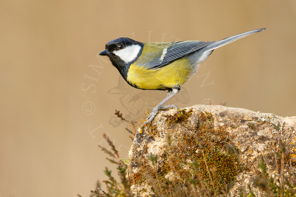 Great Tit (Parus major) adult, perched on weathered stone, Norfolk, UK.