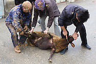 Shi'a muslim men, ritually killing a sheep on the streets during the Day of Ashura, on which shi'a muslims commemorate the martyrdom of Husayn ibn Ali, grandson of Muhammad, and third shi'a imam (Bijar, Iran, 2012).<br /> <br /> Licensed by Getty Images (2013).<br /> <br /> Available here: http://www.gettyimages.com/detail/news-photo/bijar-iran-shia-muslim-men-about-to-ritually-slaughter-a-news-photo/165730098