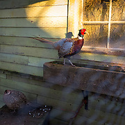 A cock pheasant struts in the sun, while the hen puffs up in the cold shade, at Agnew Market & Feed store.