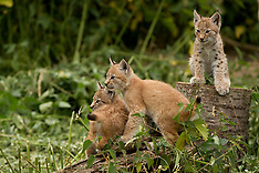JULY 27 2013 Public debut for lynx kitten triplets at ZSL Whipsnade Zoo