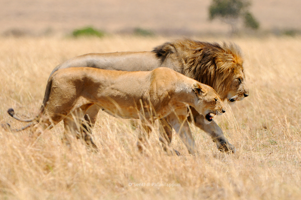 Male Lion and Lioness (Panthera leo), Mating Pair, Masai Mara National ...