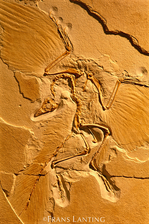 Archaeopteryx fossil, Archaeopteryx lithographica, Solnhofen, Germany