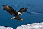 Bald Eagle, Haliaeetus leucocephalus, landing on iceberg, Kenai Peninsula, Homer Spit, Homer, Alaska. Digital original, #2006_0852 ©Robin Brandt