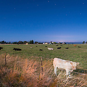 Sequim cows at 2:03 AM under a near-full moon and the Big Dipper. The lights of Victoria BC are in the distance, across the Strait of Juan de Fuca.