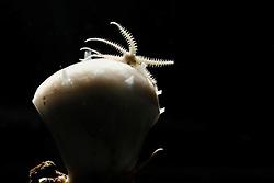 [captive] Brittle stars or ophiuroid on sponge sampel from 200m, Trondheimfjord, North Atlantic Ocean, Norway | Ein winziger Schlangenstern fängt Plankton auf einem Schwamm. Trondheimfjord, Norwegen