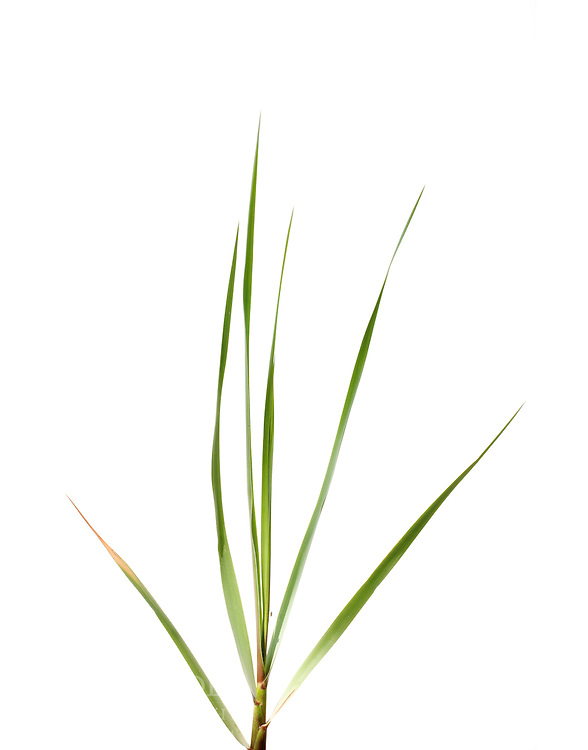 spartina Grass, Jeremy Island