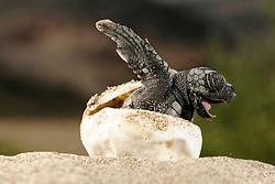 The hatchlings of the Loggerhead Sea Turtle (Caretta caretta) struggle hard to hatch out of their egg shells, emerge from the sand and find their direction once they reached the surface.  Über 50 Tage hat der warme Sand das Ei ausgebrütet, nun kämpft sich diese junge Unechte Karettschildkröte (Caretta caretta) aus der Schale heraus. Sehr schnell macht sich das kleine Tier dann auf den gefährlichen Weg zum Wasser, wobei ihm die Helligkeit des Horizonts über dem Meer Orientierung gibt. (Türkei)