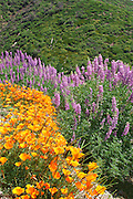 California Poppies and Bush Lupine blooming on Figueroa Mountain, California
