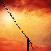 Swallows on a wire.<br /> texturized photograph.<br /> Prints &amp; more : <br /> http://society6.com/DirkWuestenhagenImagery/birds-on-a-wire-ypn_Print