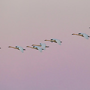 Seven trumpeter swans (Cygnus buccinator) fly in formation over a pond in Brady, Washington at dawn. With a length of as much as 64 inches (163 cm) and a weight of as much as 26 pounds (11.8 kg), the trumpeter swan is the largest bird native to North America.