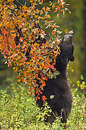 As berries begin to ripen in early fall, both black and grizzly bears seek out this important food source. This black bear is feasting on hawthorn  berries which grow in abundance along the roadsides in Grand Teton National Park.