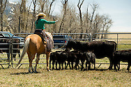 Cowgirls, drags calves to the fire, branding, Lazy SR Ranch, Wilsall, Montana, Jessie Sarrazin, MODEL RELEASED, PROPERTY RELEASED