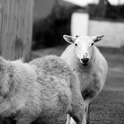 Three sheep greet passing cars in rural Donegal, Ireland.