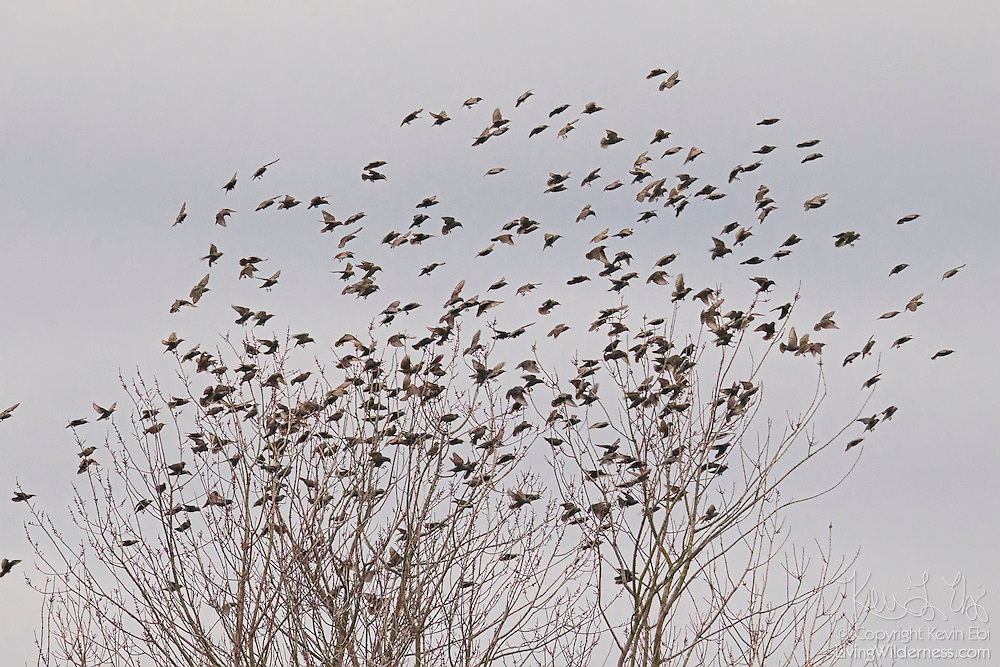 A large flock of European starlings (Sturnus vulgaris) lands in bare trees in Skagit Valley, Washington. European starlings tend to travel in large flocks and fly in a large, dense cluster when they spot predators.