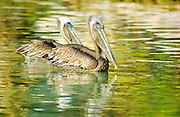 brown pelican pair, Galapagos Islands