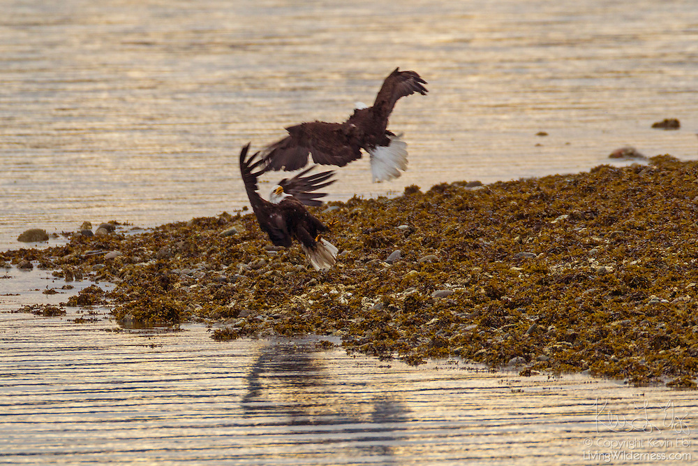 Two adult bald eagles (Haliaeetus leucocephalus) fight on the shore of Hood Canal near Seabeck, Washington. Hundreds of bald eagles congregate in the area early each summer to feed on migrating midshipman fish that get trapped in oyster beds during low tides. Bald eagles, however, primarily get food by stealing it from other eagles or birds.