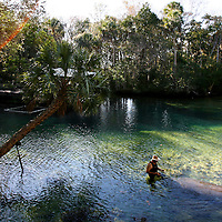 """HOMOSASSA, FL -- January 5, 2009 -- A large manatee swims up to volunteer Chuck Beyerlein for a treat during an educational program in the natural spring at the Homosassa Springs Wildlife State Park in Homosassa, Fla., on Monday, January 5, 2009.  The 180-acrepark is built into the natural surroundings, giving visitors a glimpse at wildlife in their natural setting - including the """"Fishbowl,"""" which is a natural spring with and underwater viewing area.  (Chip Litherland for The New York Times)"""