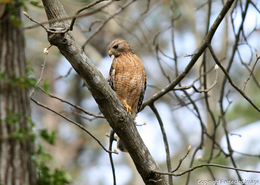 A Red Shouldered Hawk perched in an oak tree hunting squirrels in Georgia.