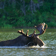 A moose (Alces alces) shakes to dry off as it emerges from Fishercap Lake, located in Glacier National Park, Montana. The moose and the flying water droplets are blurred by a long exposure to capture their movement.