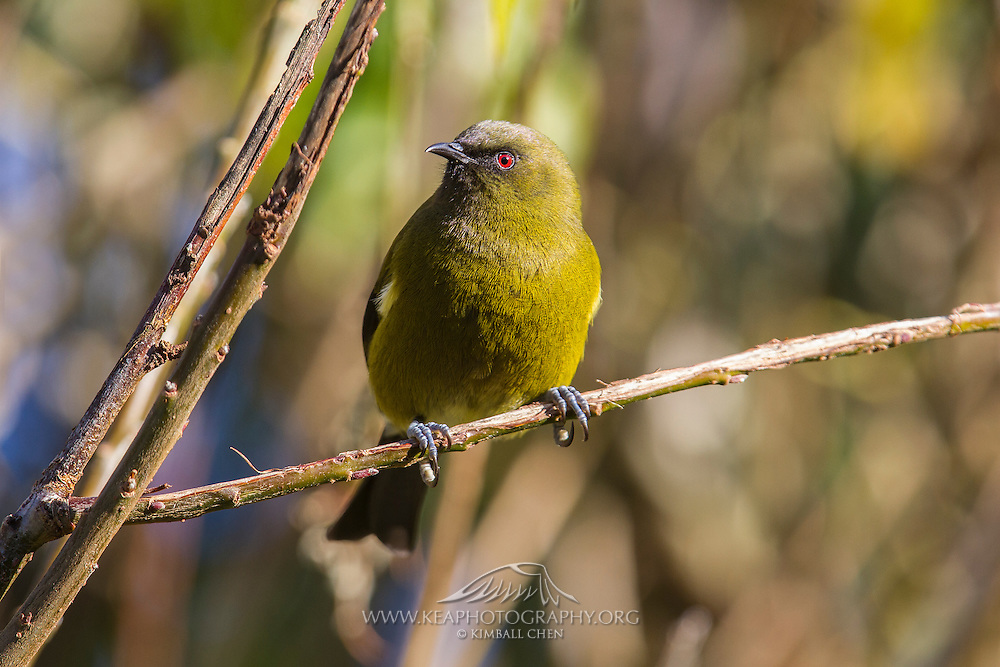 Bellbird, Southland, New Zealand