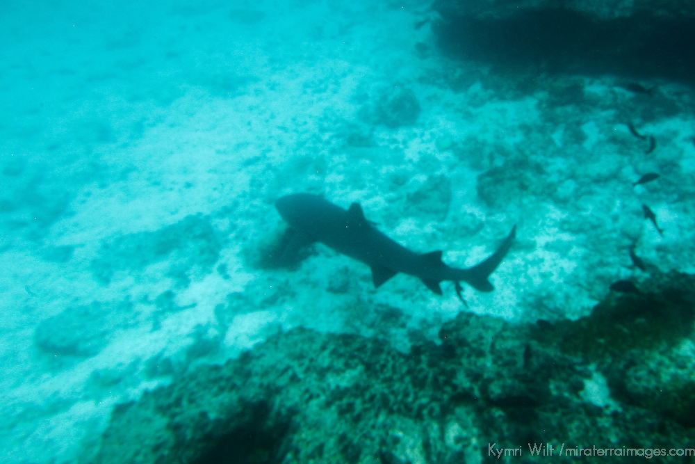 South America, Ecuador, Galapagos Islands. Snorkeling with sharks in teh Galapagos.