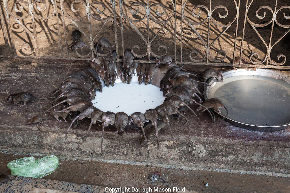Karni Mata Temple is a famous Hindu temple dedicated to Karni Mata at Deshnoke, 30km from Bikaner, in Rajasthan, India. It is also known as the Temple of Rats.<br />