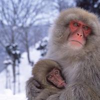 Mother Japanese macaque (snow monkey) nursing baby in snow, Honshu Island, Japan.