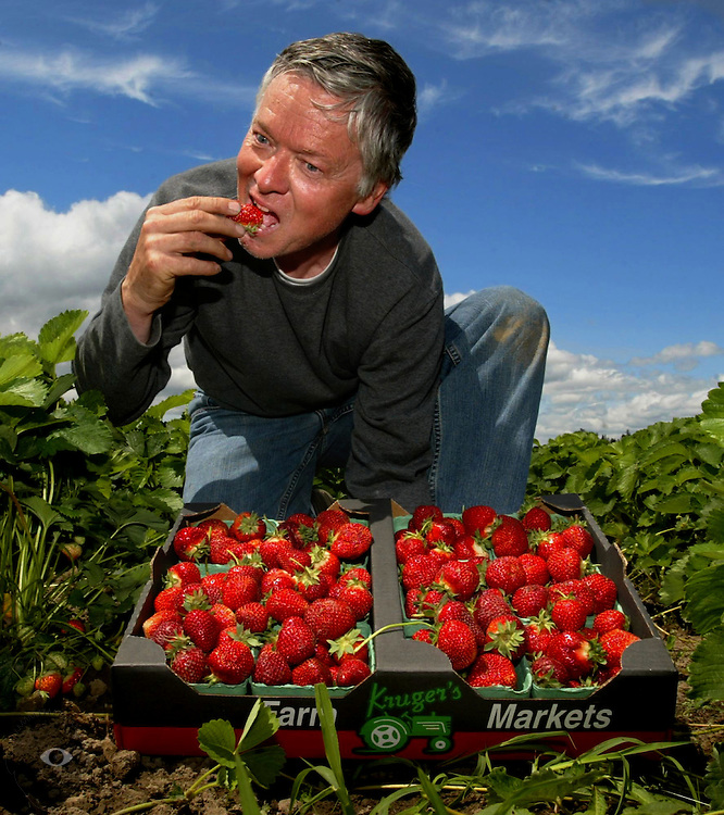 Don Kruger of Kruger Farms picks Hood strawberries in a newly planted field on Sauvie Island. He has trouble himself not sampling some of the fruits of his labor...