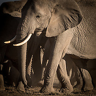 Amboseli Elephants<br />    Thanks in part to the work of the Amboseli Trust for Elephants (operator of the longest running study of elephant behavior in the wild), the Amboseli elephants are generally protected from the ravages of poaching that have decimated elephant populations in other areas in Africa.  A portion of the sales of Amboseli elephant images on this site goes to support the work of ATE and its Director and Founder, Dr. Cynthia Moss.  For more information, contact elephanttrust.org.