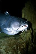Blue Catfish<br /> <br /> Engbretson Underwater Photography