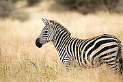 Zebra in long grass, Tarangire National Park, Tanzania