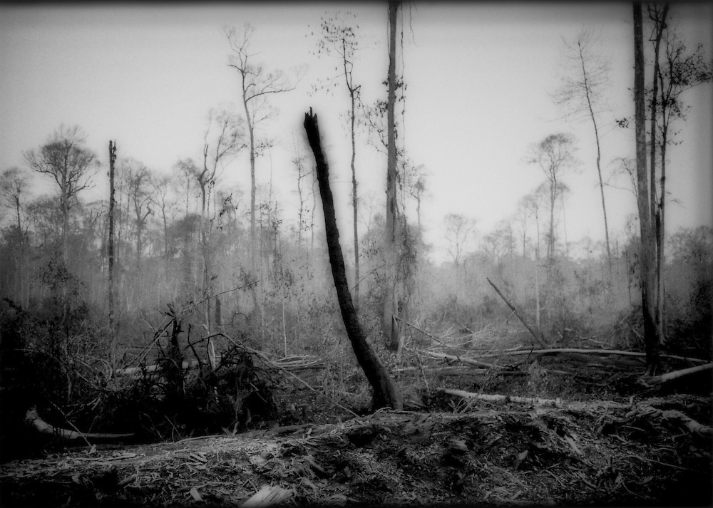 Forest cleared for coconut palm plantation, Telok Melano, West Kalimantan, Indonesian Borneo.