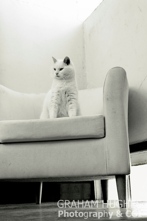 White Cat On Chair