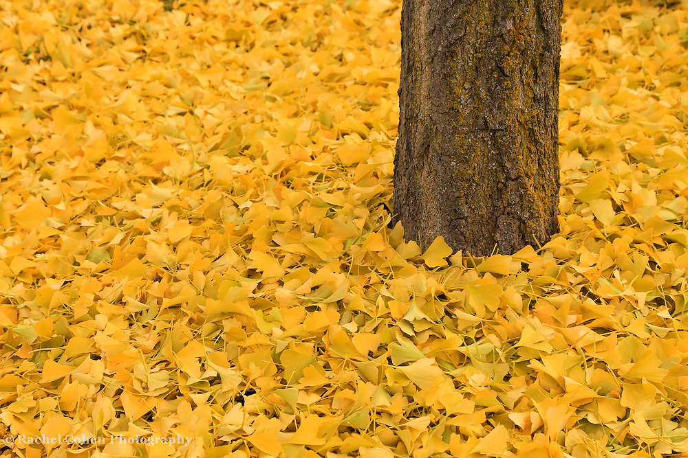 &quot;Ginkgo Bliss&quot; 2<br /> <br /> All the autumn splendor of the wonderful Ginkgo Biloba! Beautiful golden yellow leaves carpet the ground surrounding its trunk!!<br /> <br /> Fall Foliage by Rachel Cohen