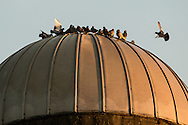 Mount Hope, New York - Pigeons gather on top of a silo at dawn on Nov. 26, 2015.