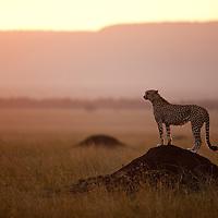 Africa, Kenya, Masai Mara Game Reserve, Cheetah (Acinonyx jubatas) standing on termite mound at sunset
