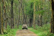 Four wheeler surrounded by acacia trees  ( yellow barked acacias, also knoan as  fever trees - Acacia xanthophloea ) are the common vegetation on the shores of Lake Nakuru in Kenya.