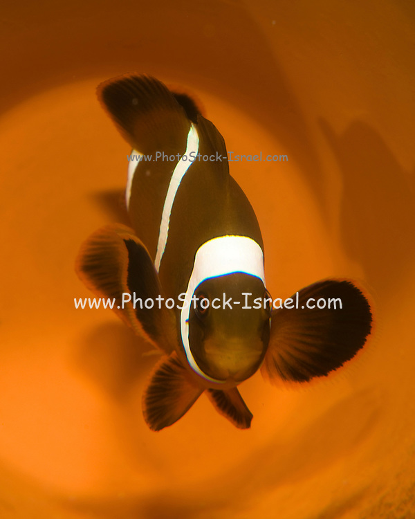 three-band anemonefish, Amphiprion tricinctus, Picture taken in a breeding farm the star of Finding Nemo a 2003 computer-animated family film