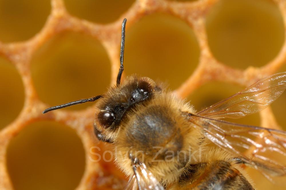 Honey bee (Apis mellifera), Kiel, Germany | Die Honigbiene (Apis mellifera) auf einere leeren Wabe.  Kiel, Deutschland