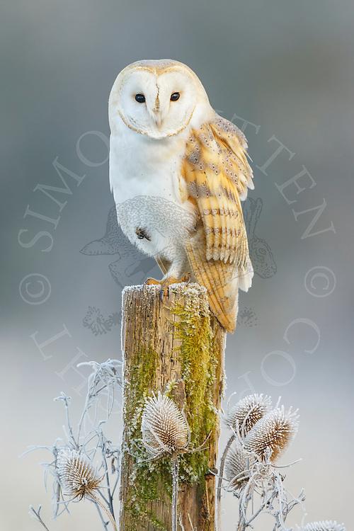 Barn Owl (Tyto Alba) adult perched on post on frosty morning, Norfolk, UK.