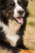 Male Australian Shepherd dog, tri color <br />