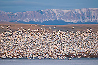 snow geese lifting off at freezeout lake wildlife area rocky mountain front backdrop