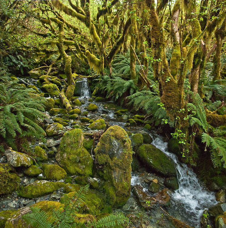 Hanging moss 'Weymouthia mollis' and epiphytic plants cover trees and large rocks as crepe ferns litter and line a tributary of Roaring Burn, Milford Track, New Zealand