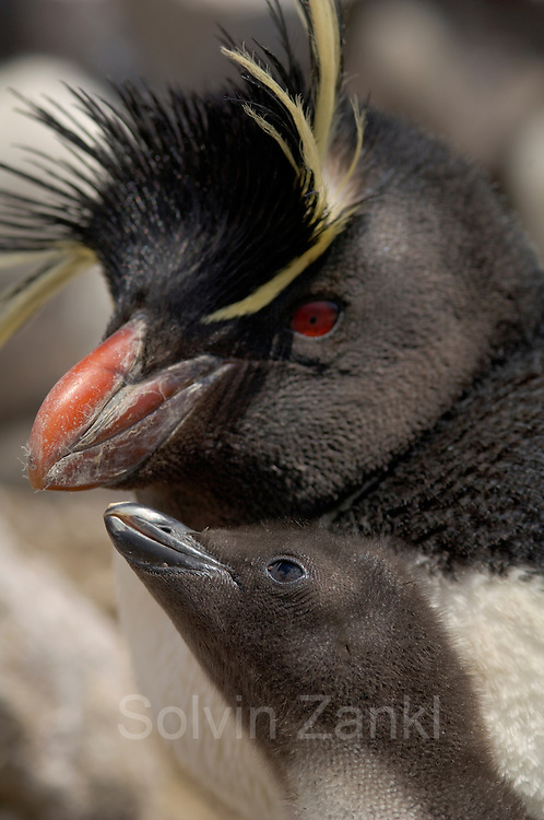 Der von der Unterwasser-Jagd zurückkehrende Altvogel wird von dem Felsenpinguin-Küken (Eudyptes chrysocome) um Futter angebettelt. | After the adult returned from the underwater foraging trip the rockhopper penguin chick (Eudyptes chrysocome) begs for food.